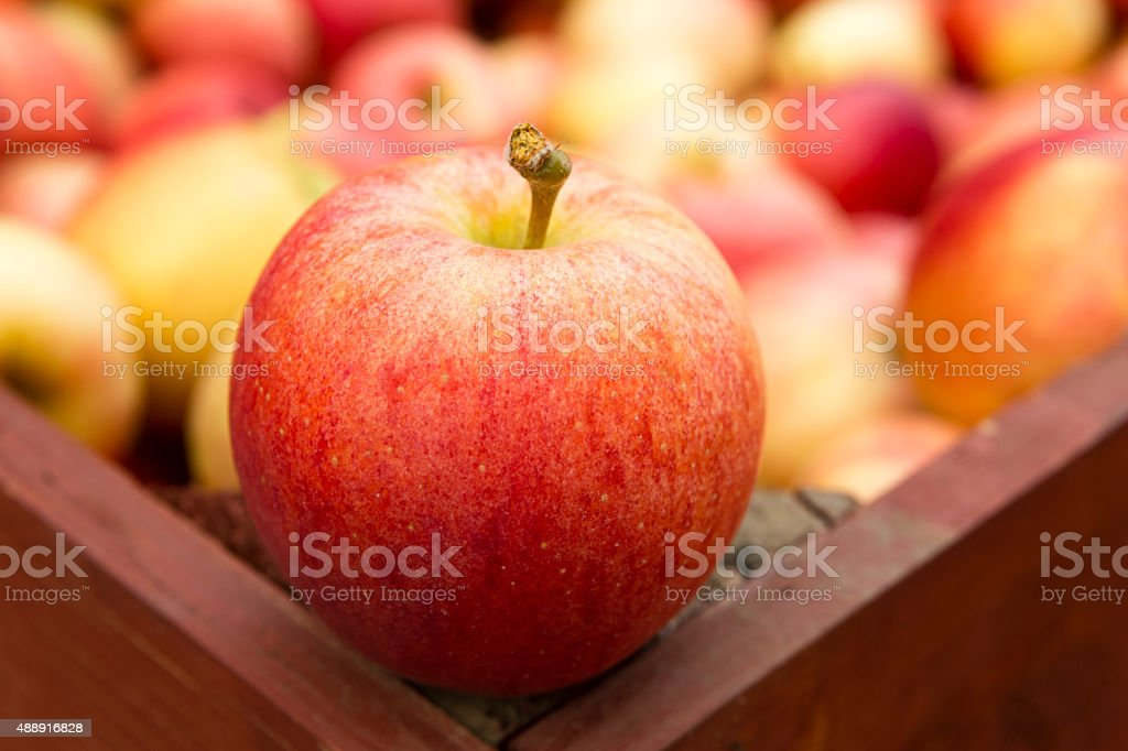 Ripe Organic Gala Apple stock photo