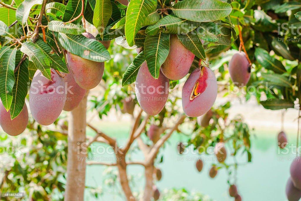 Ripe organic mangoes hanging from trees. stock photo