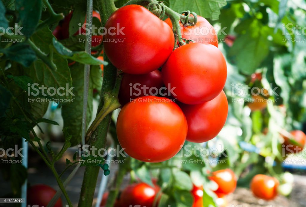 Ripe organic tomatoes in garden ready to harvest stock photo