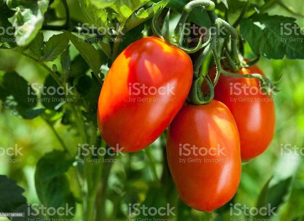 Ripe organic tomatoes on the vine stock photo