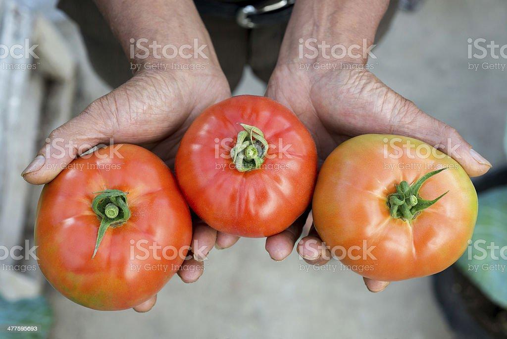 ripe organic tomatoes royalty-free stock photo