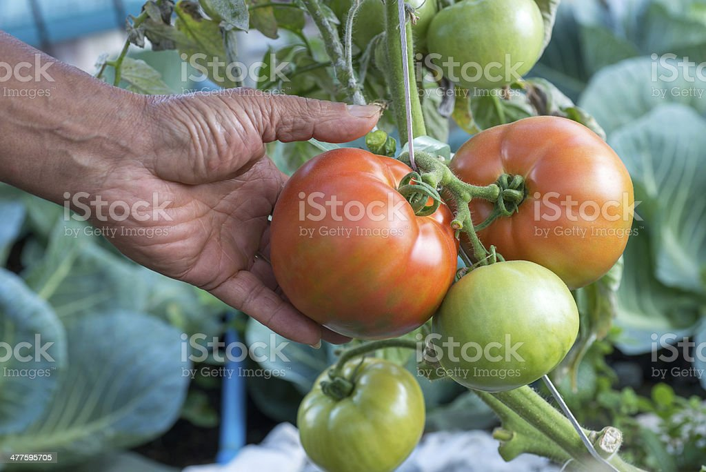 ripe organic tomatoes royalty-free stock photo