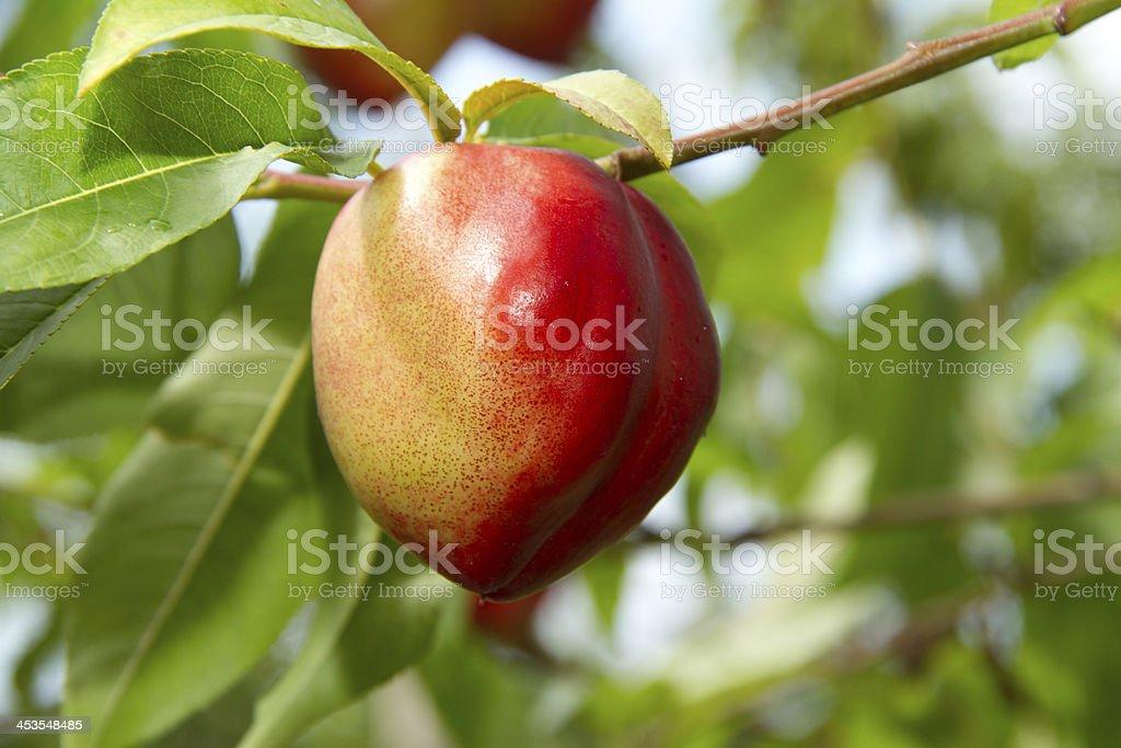 Ripe Peach on a branch stock photo