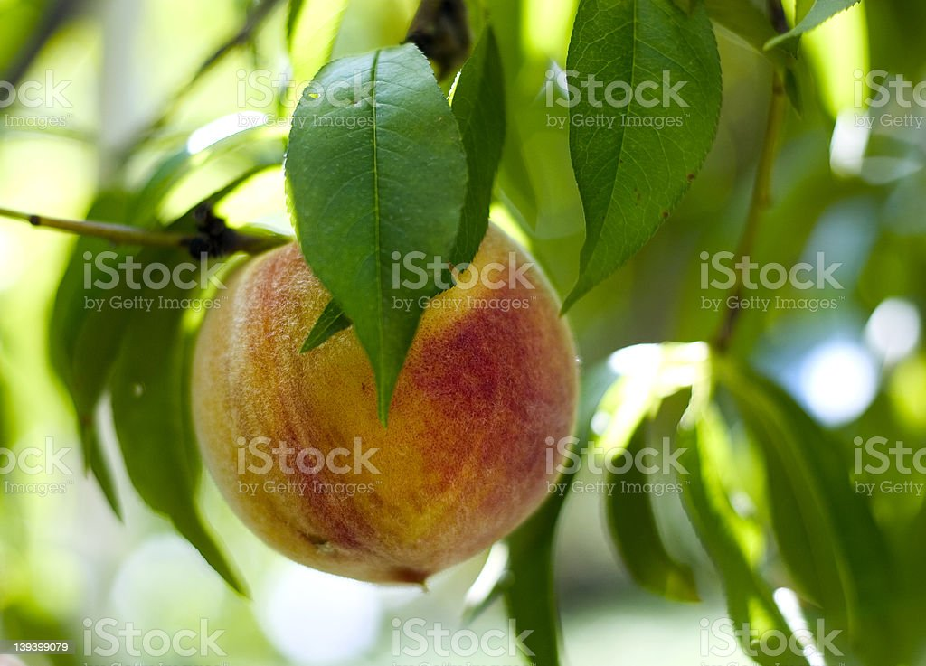 ripe peach on a brunch royalty-free stock photo