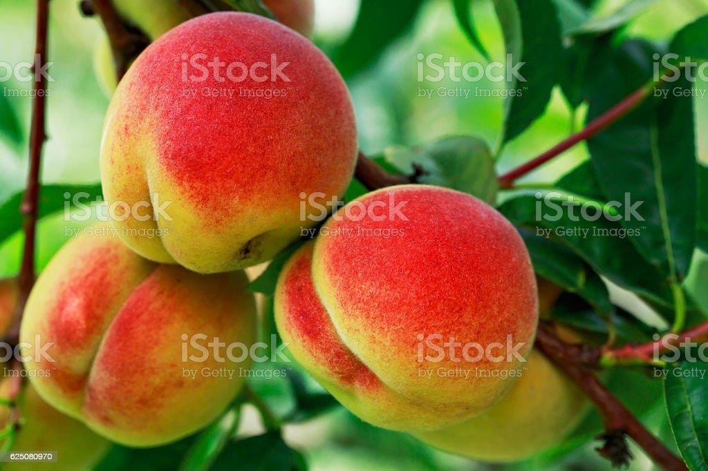 ripe peach on the branch stock photo