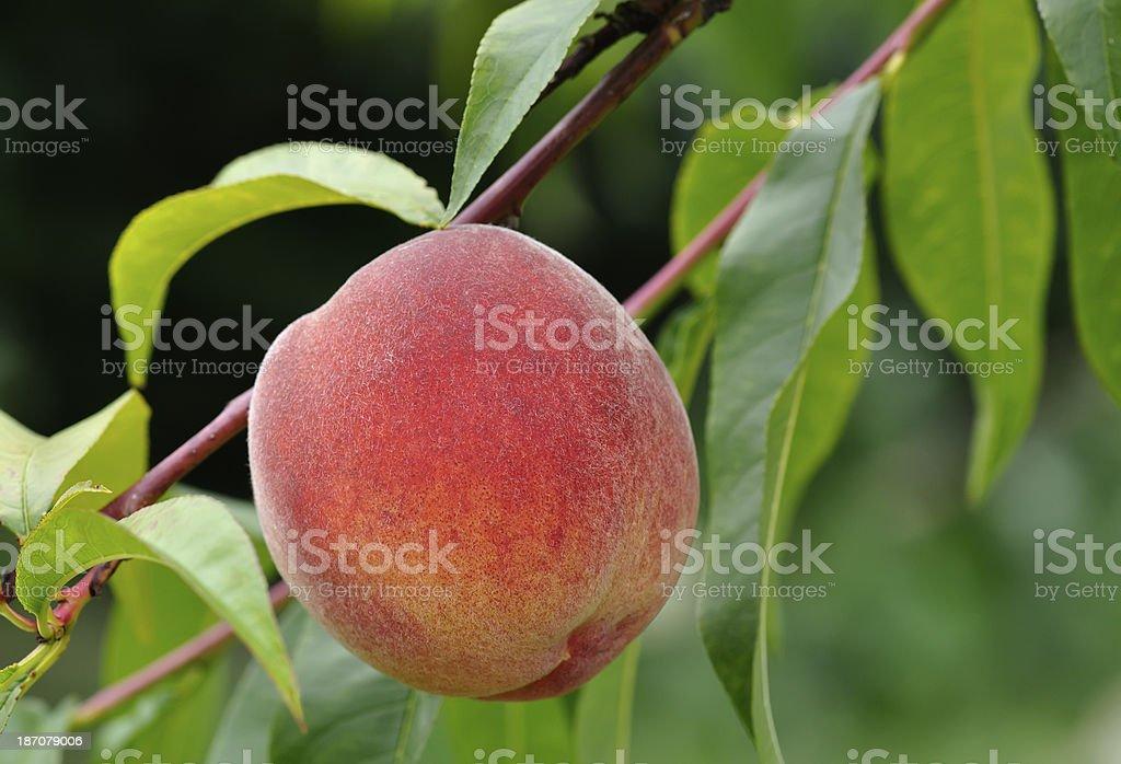 Ripe peach on tree royalty-free stock photo