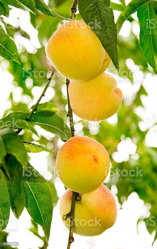ripe peach royalty-free stock photo