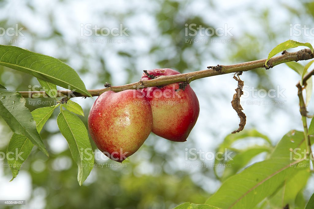 Ripe Peaches on a branch stock photo