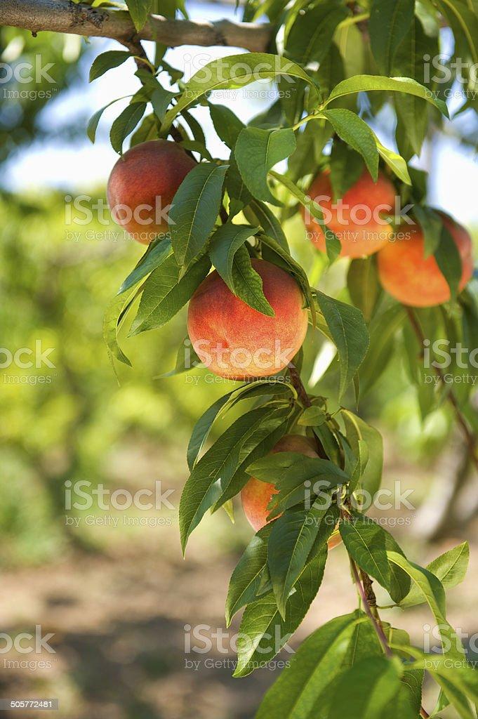 Ripe peaches on a tree 2 stock photo