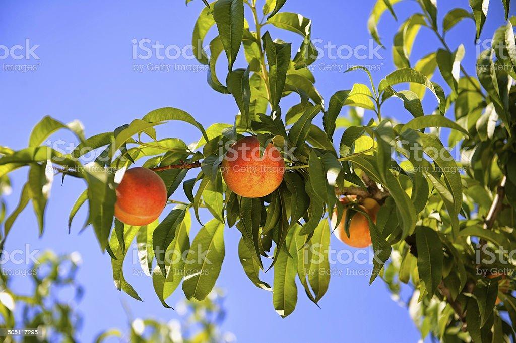 Ripe peaches on a tree stock photo