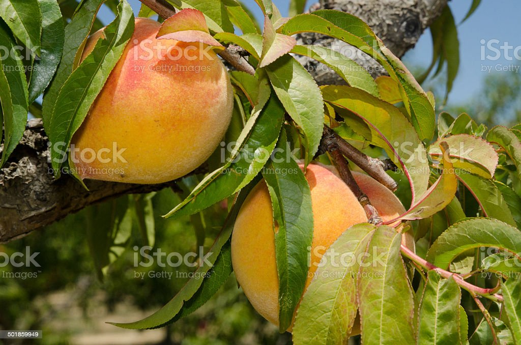 Ripe peaches on th branches stock photo