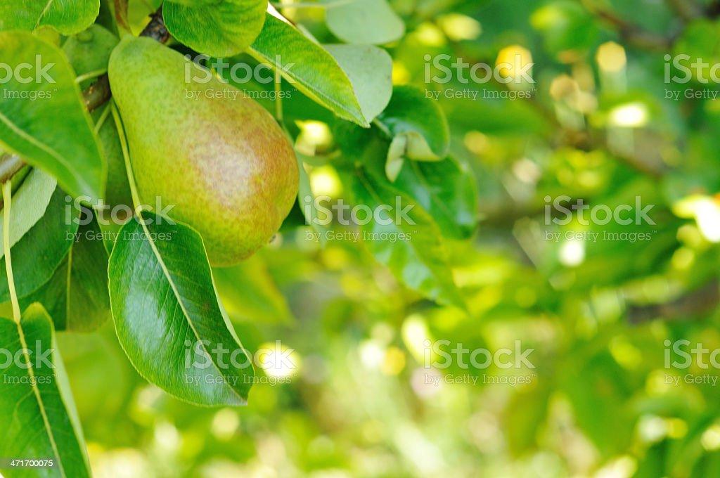 Ripe pear on tree royalty-free stock photo