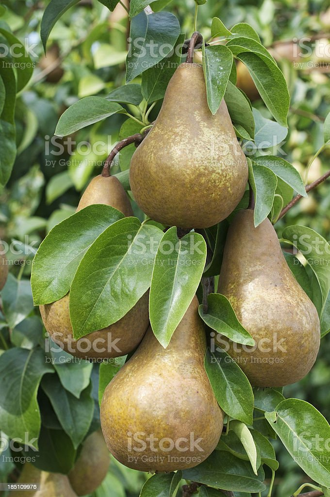 Ripe pears in orchard stock photo