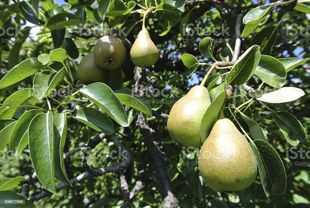 Ripe pears on a tree stock photo