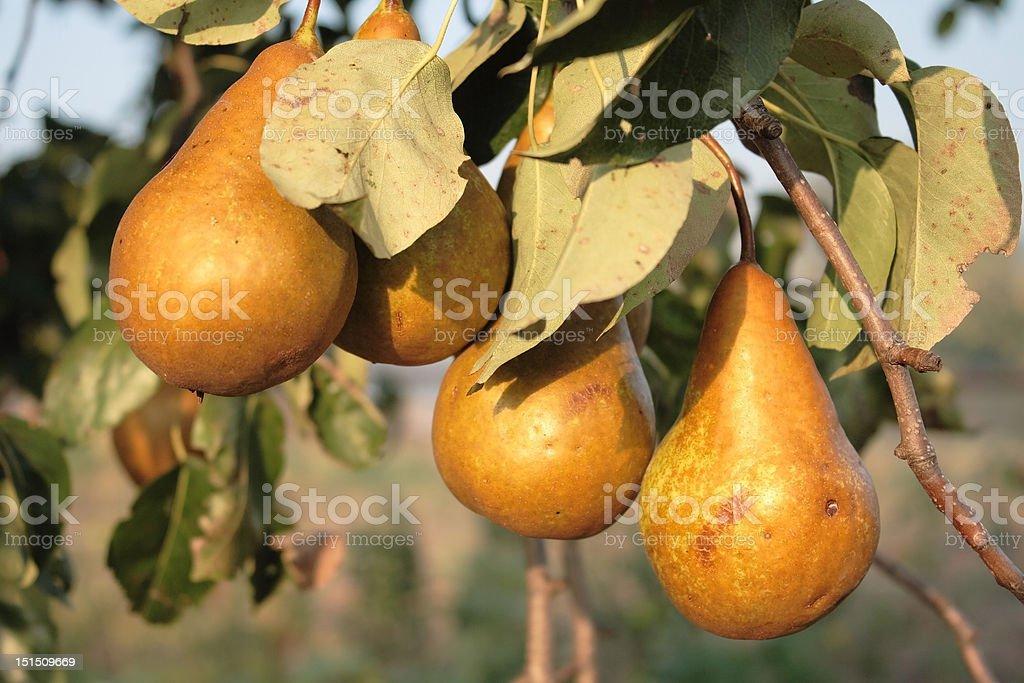 Ripe pears royalty-free stock photo