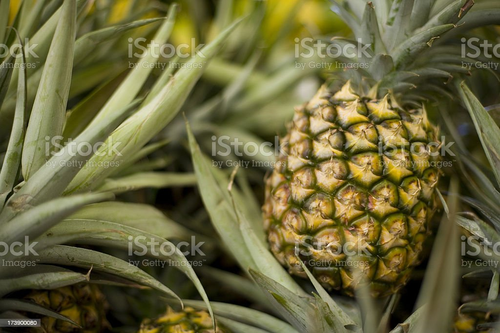 A ripe pineapple growing on the plant stock photo