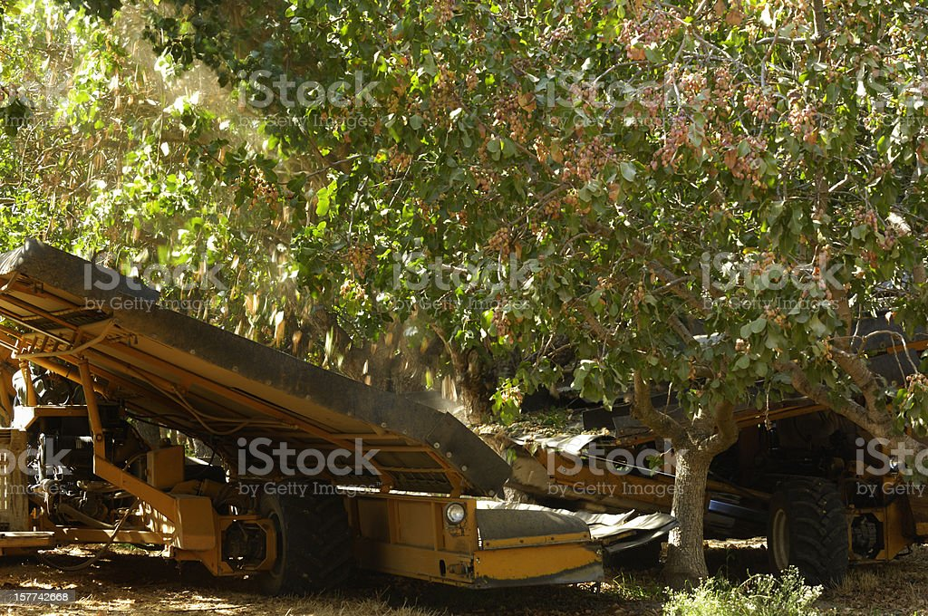 Ripe Pistachio Being Harvested royalty-free stock photo