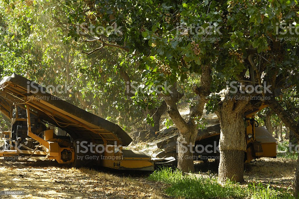 Ripe Pistachio Being Harvested With a Mechanical Shaker stock photo