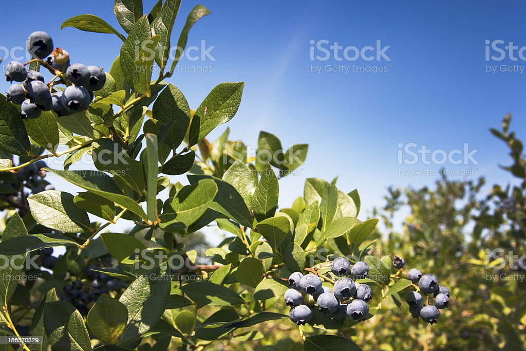 Ripe, Plump Blueberry Clusters on Bush, Ready for Summer Picking stock photo