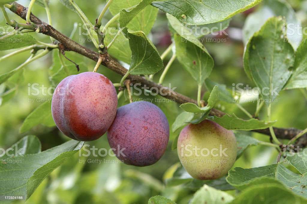 Ripe Plums on a branch, Norway stock photo