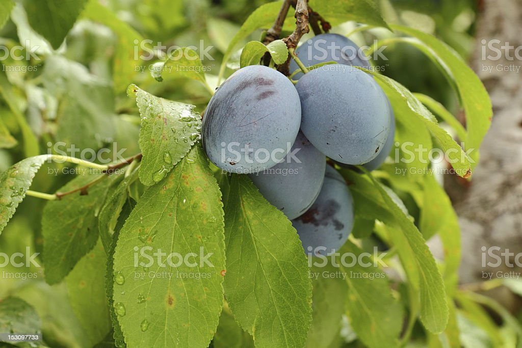 Ripe Plums on a Branch royalty-free stock photo