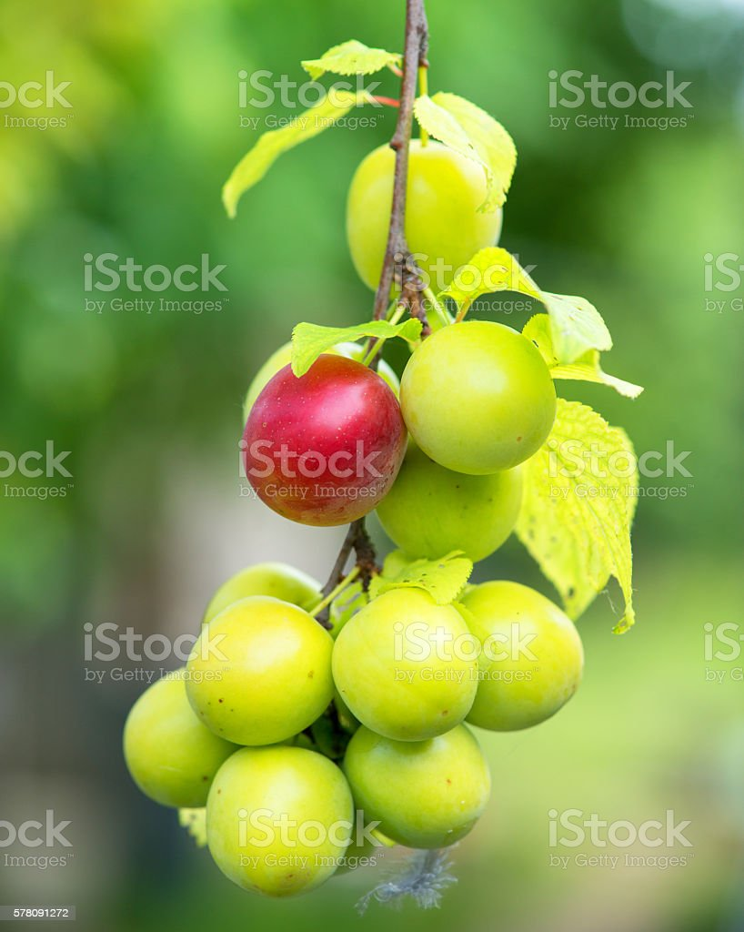 ripe plums on a tree branch in the orchard stock photo