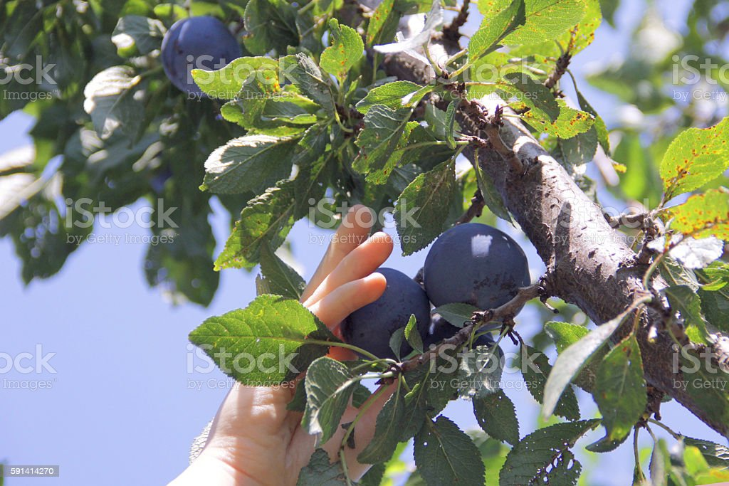 Ripe plums on the tree, picking plums in an orchard stock photo