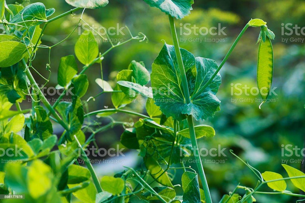 ripe pod of green peas in garden on farm stock photo