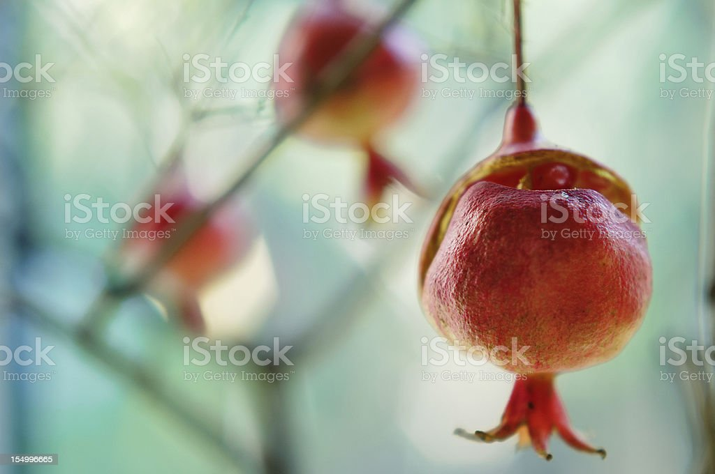 Ripe pomegranate growing on the tree stock photo