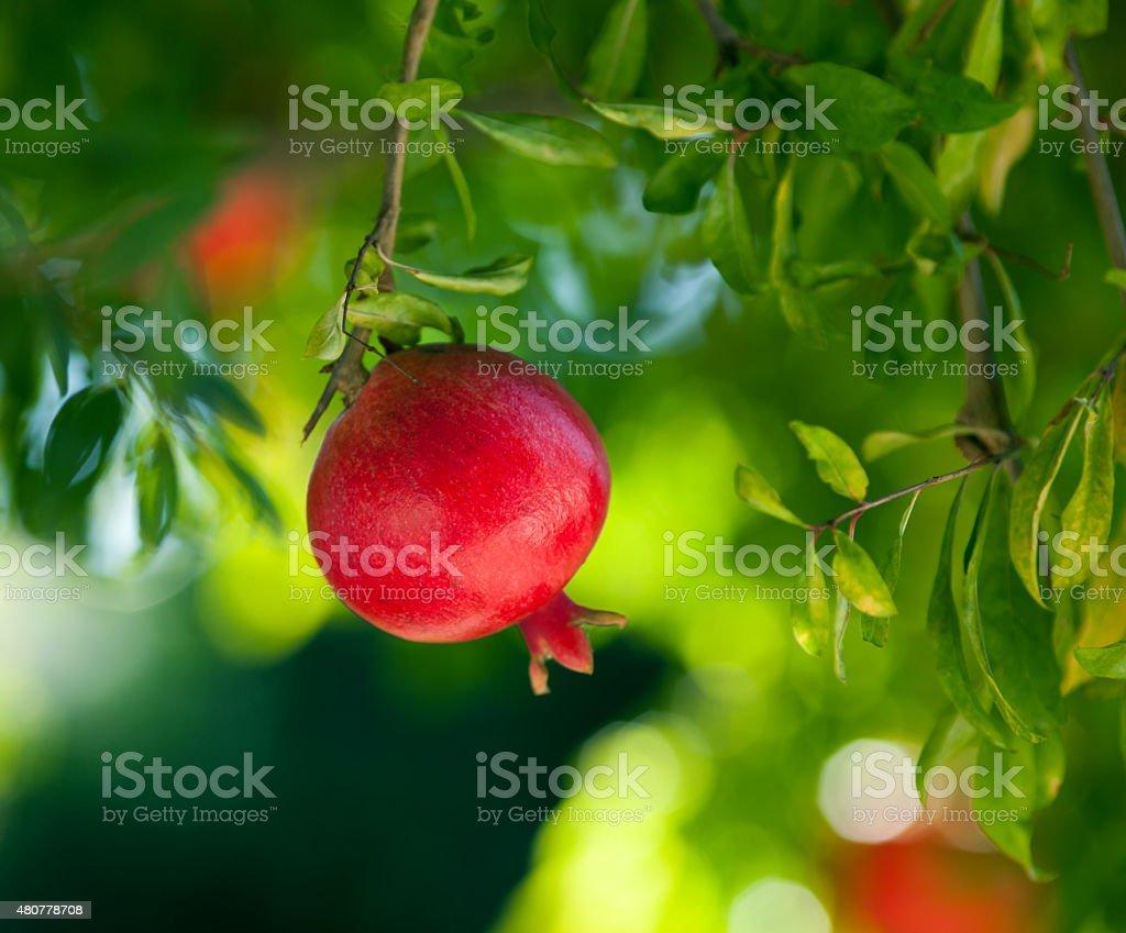 Ripe pomegranate hanging on a tree stock photo