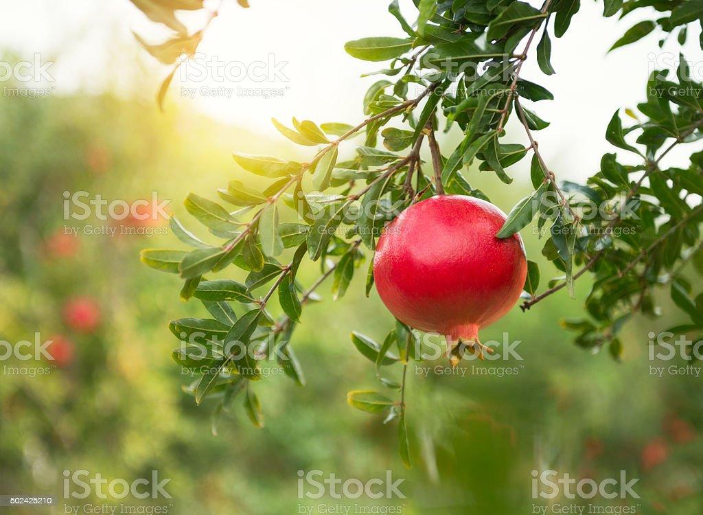Ripe pomegranates on tree stock photo