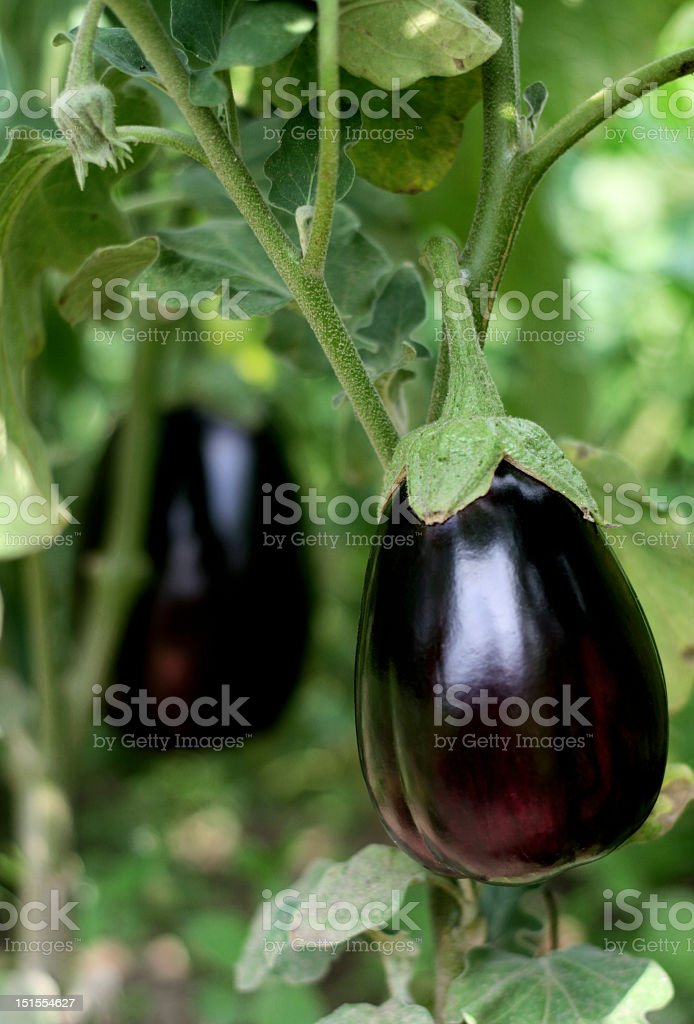 Ripe purple eggplant on the vine is ready to be harvested royalty-free stock photo