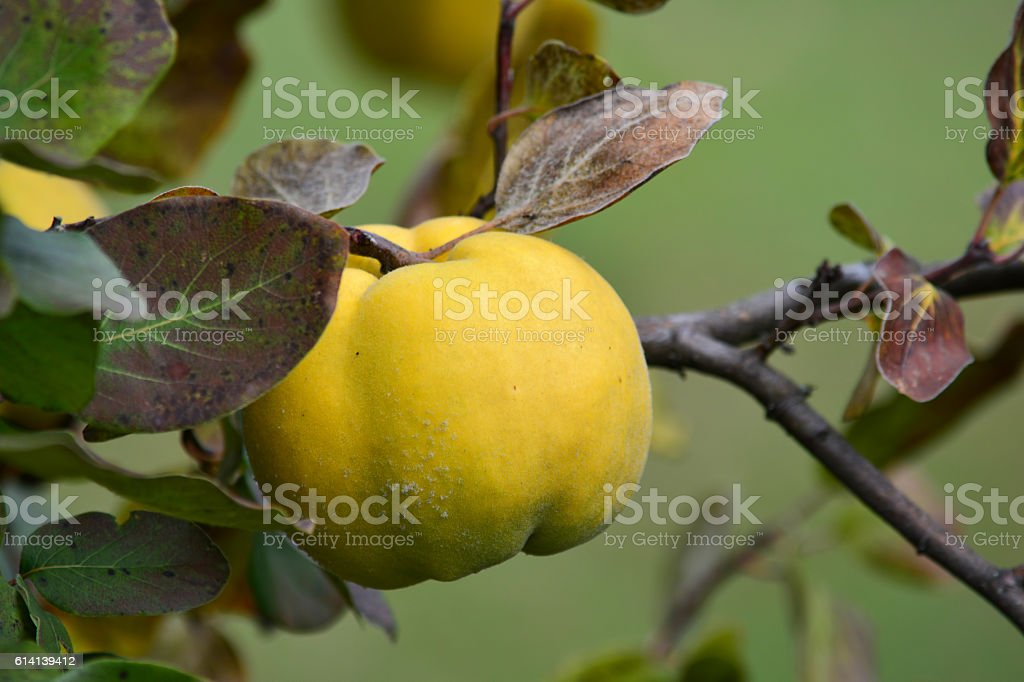 Ripe quince on a twig, close up stock photo