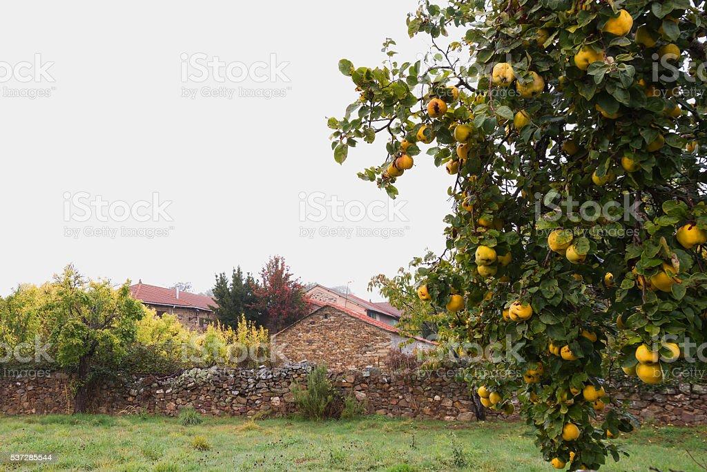 Ripe quinces on the tree in Rural Area - Membrillos stock photo