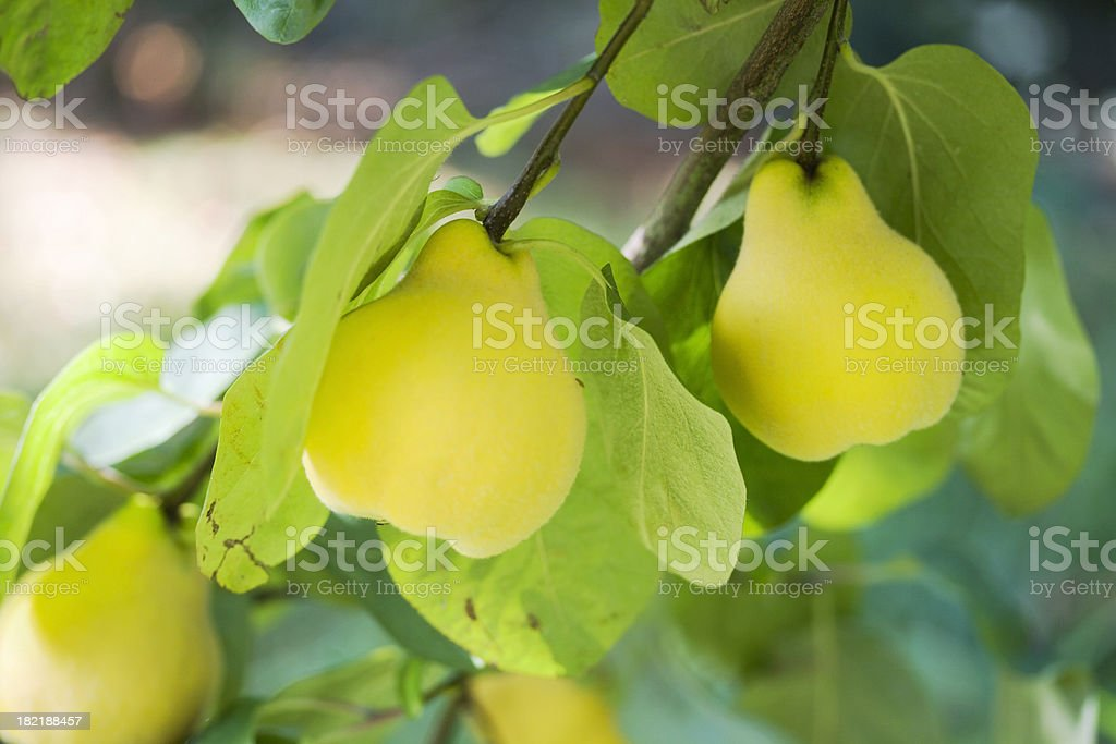 Ripe Quinces on the Tree stock photo