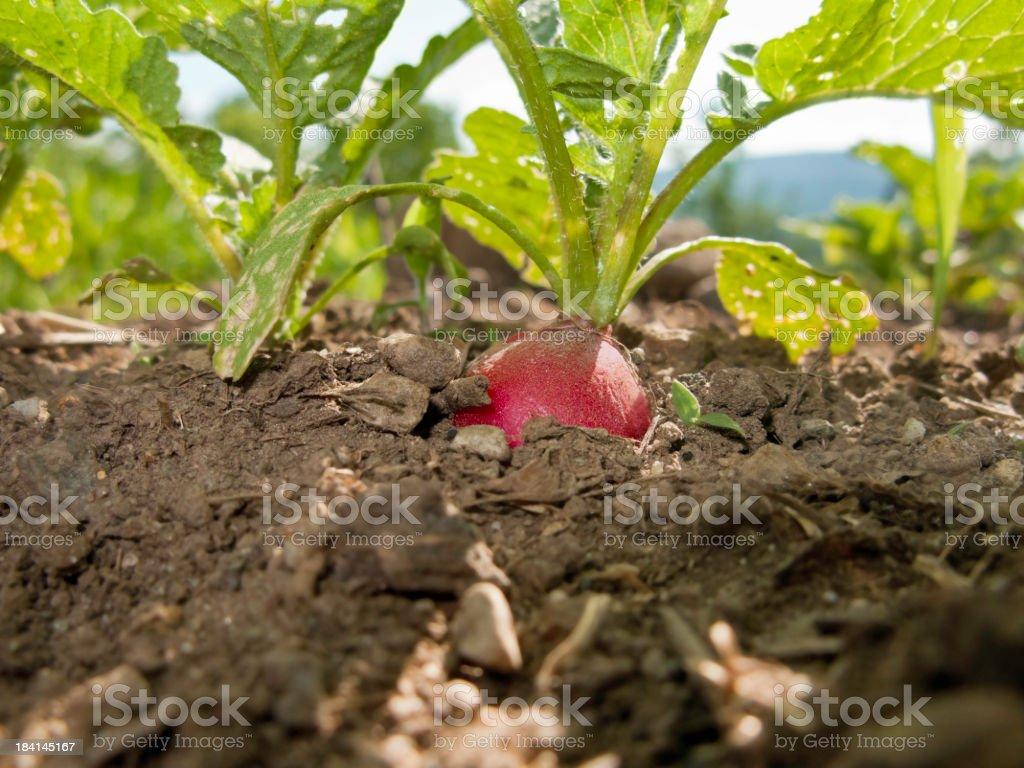 Ripe Radish in the Garden Horizontal royalty-free stock photo