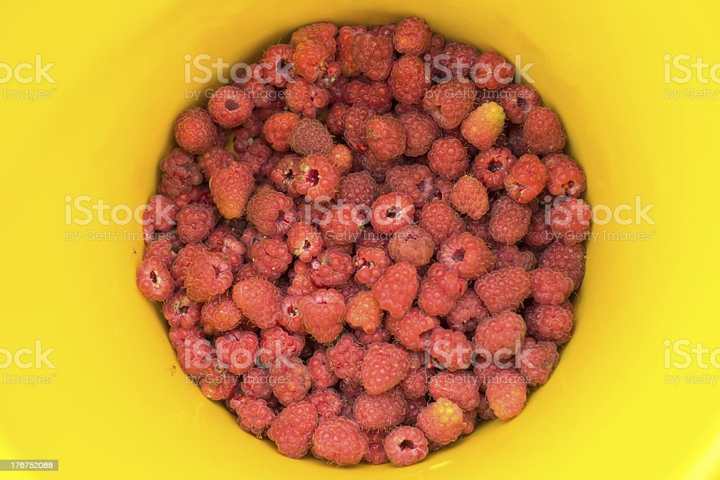 Ripe raspberries in yellow bucket royalty-free stock photo
