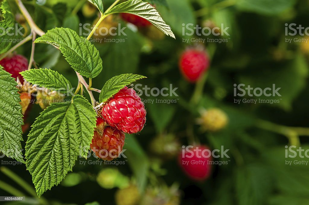 Ripe raspberries on a plant. stock photo