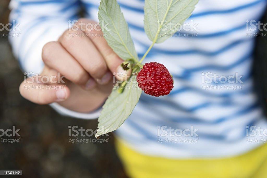 Ripe Raspberry royalty-free stock photo