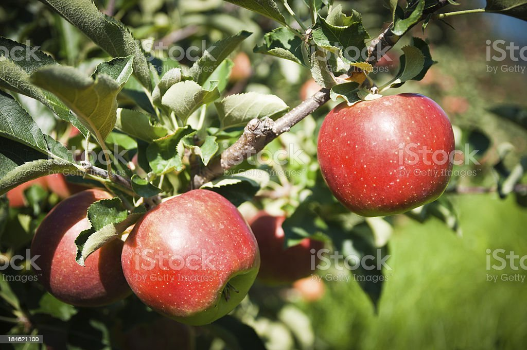 ripe red apple on tree ready for harvest stock photo