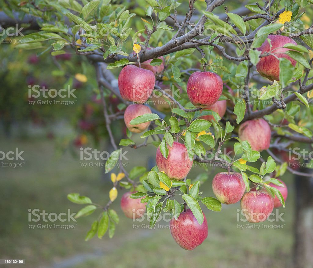 Ripe red apples in the apple capital of Nepal. royalty-free stock photo