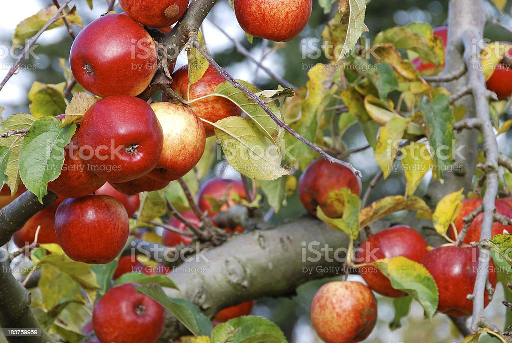 Ripe red apples ready to be picked royalty-free stock photo