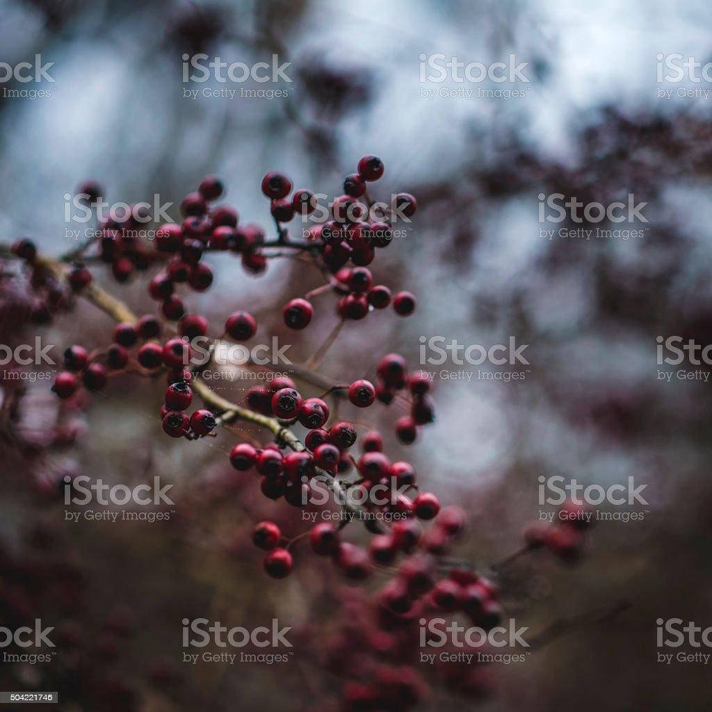Ripe red berries on the dogwood bush stock photo