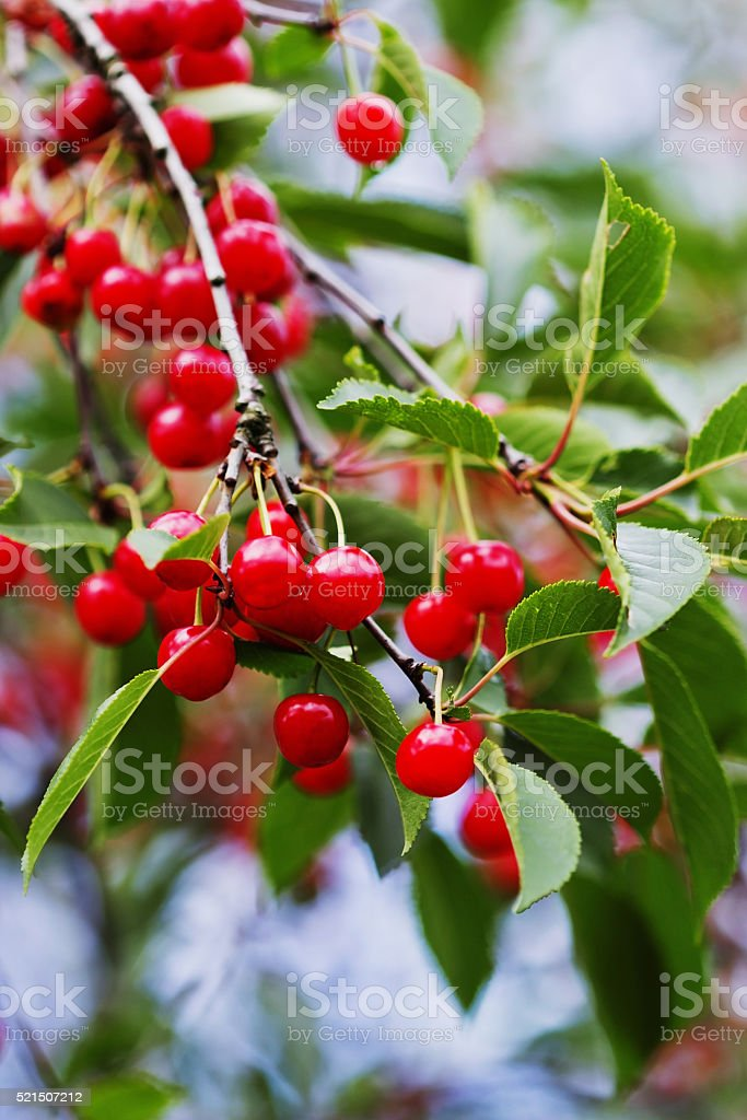 Ripe red cherries stock photo