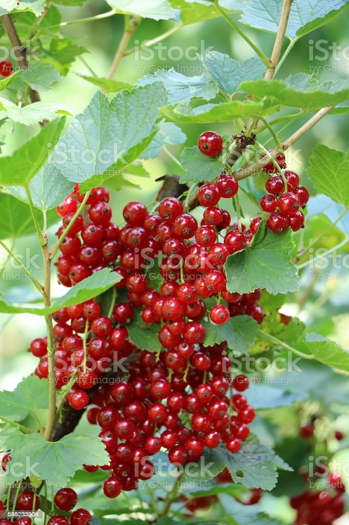Ripe red currants in the garden stock photo