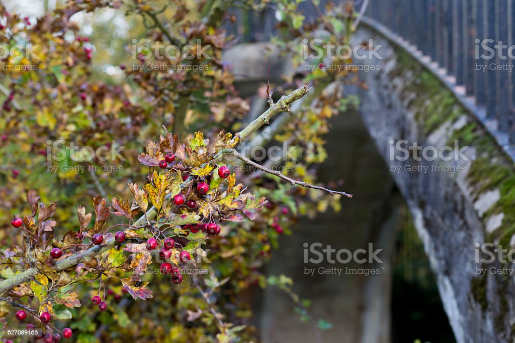Ripe red fruit of Hawthorn berries on brunches stock photo