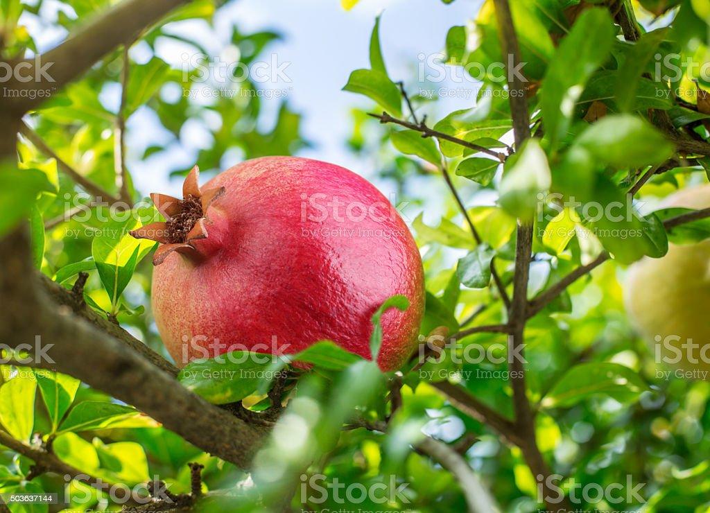 Ripe red pomegranate fruit. stock photo