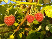 ripe red raspberries on a branch