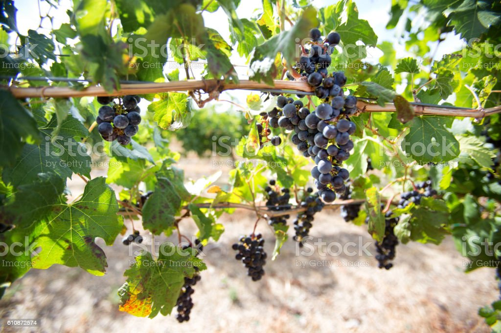 Ripe Red Wine Grapes on a Vine in a Vineyard stock photo