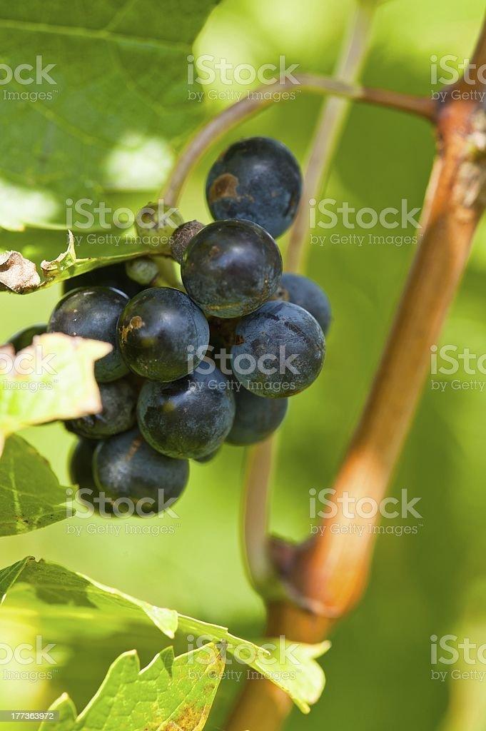 Ripe red wine grapes stock photo